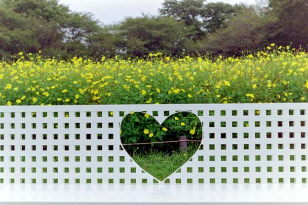 昭和記念公園【キバナコスモス】3銀塩