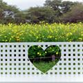 Photos: 昭和記念公園【キバナコスモス】3銀塩