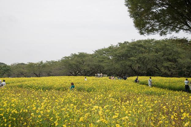 昭和記念公園【キバナコスモス】4