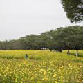 Photos: 昭和記念公園【キバナコスモス】4