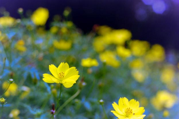 昭和記念公園【キバナコスモス】7銀塩