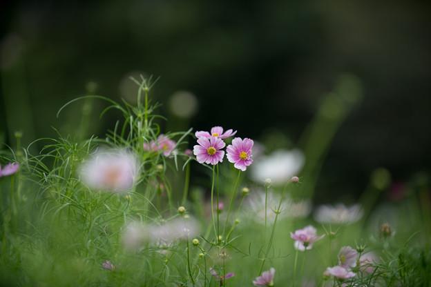 昭和記念公園【コスモス:ヒノマル】3