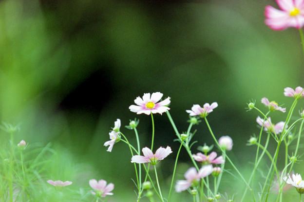 昭和記念公園【コスモス:ヒノマル】5銀塩