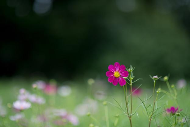 昭和記念公園【コスモス:ベルサイユ】1