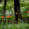 昭和記念公園【ヒガンバナ】1