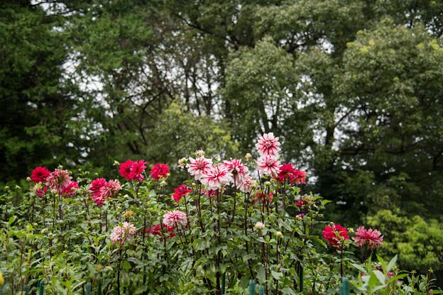 Photos: 昭和記念公園【ダリア】1