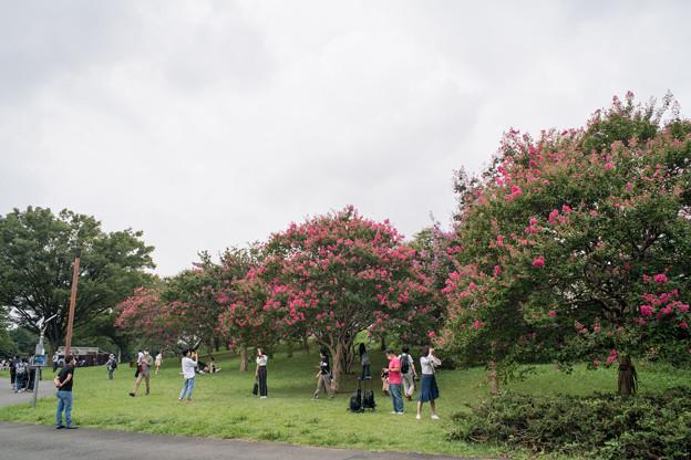 昭和記念公園【サルスベリ】1