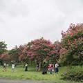 Photos: 昭和記念公園【サルスベリ】1