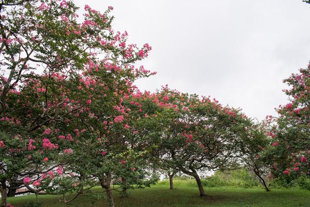昭和記念公園【サルスベリ】2