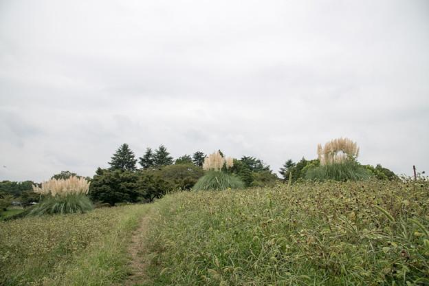 昭和記念公園【パンパスグラス】1
