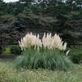 昭和記念公園【パンパスグラス】3