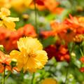 里山ガーデンフェスタ【キバナコスモス】8