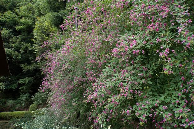 西方寺【萩の花】1
