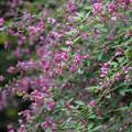 西方寺【萩の花】2