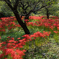 Photos: 府中市郷土の森【ヒガンバナ畑の眺め】3
