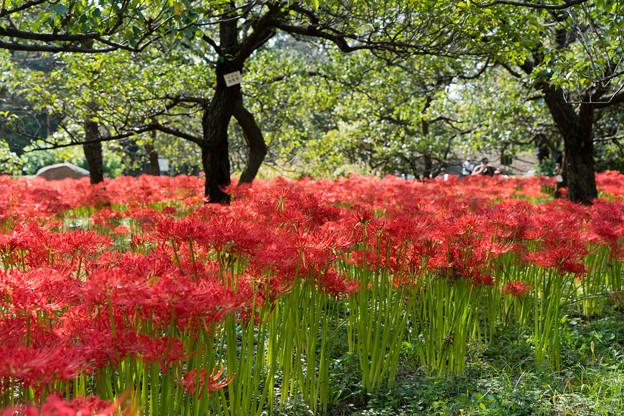 府中市郷土の森【ヒガンバナ畑の眺め】5
