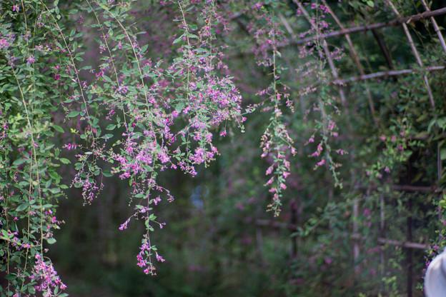 府中市郷土の森【萩の花】4