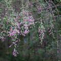 Photos: 府中市郷土の森【萩の花】4
