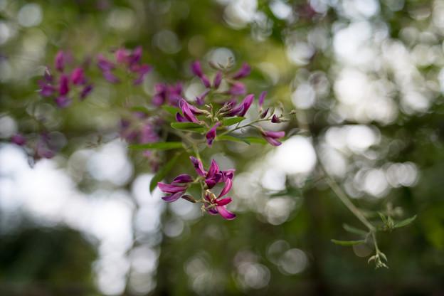 府中市郷土の森【萩の花】7