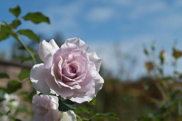 Photos: 花菜ガーデン【秋バラ:ニュー・ウェーブ】1