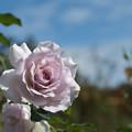 花菜ガーデン【秋バラ:ニュー・ウェーブ】1
