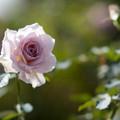 花菜ガーデン【秋バラ:ニュー・ウェーブ】2