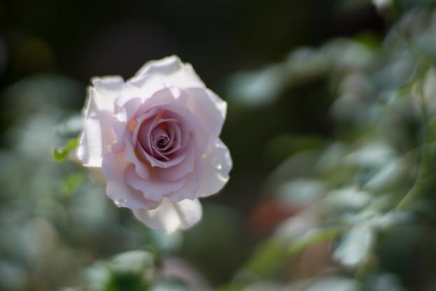 花菜ガーデン【秋バラ:ニュー・ウェーブ】3