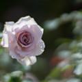 Photos: 花菜ガーデン【秋バラ:ニュー・ウェーブ】3
