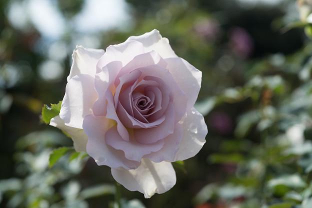 花菜ガーデン【秋バラ:ニュー・ウェーブ】6