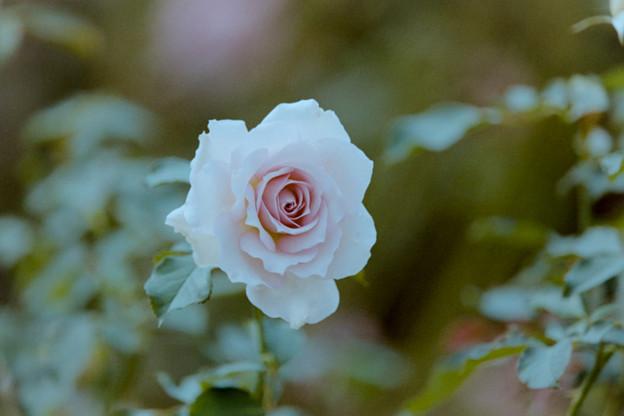 Photos: 花菜ガーデン【秋バラ:ニュー・ウェーブ】5銀塩