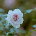 花菜ガーデン【秋バラ:ニュー・ウェーブ】5銀塩