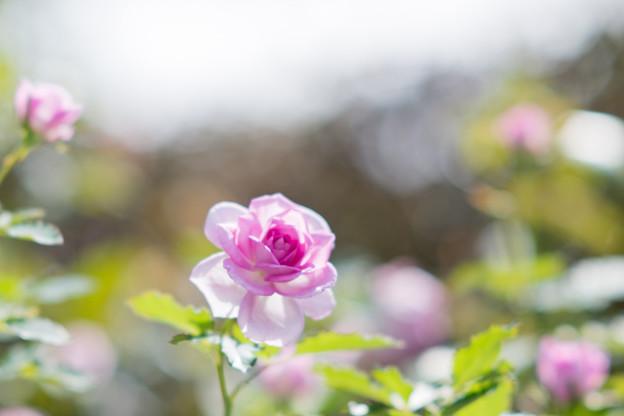 花菜ガーデン【秋バラ:コティリオン】1