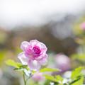 Photos: 花菜ガーデン【秋バラ:コティリオン】1