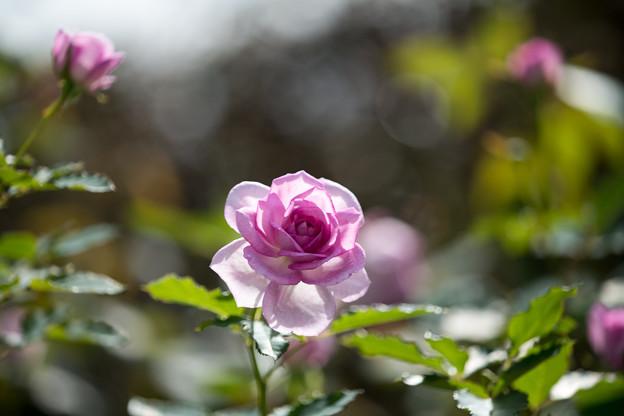 花菜ガーデン【秋バラ:コティリオン】5