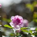 Photos: 花菜ガーデン【秋バラ:コティリオン】5
