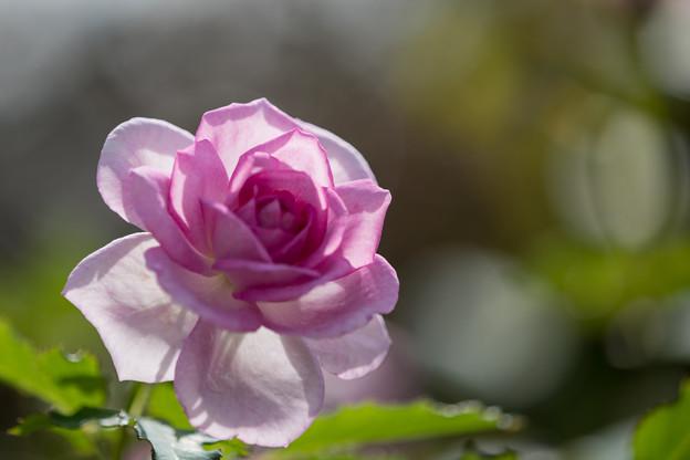 花菜ガーデン【秋バラ:コティリオン】6
