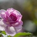 Photos: 花菜ガーデン【秋バラ:コティリオン】6