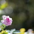 Photos: 花菜ガーデン【秋バラ:コティリオン】2