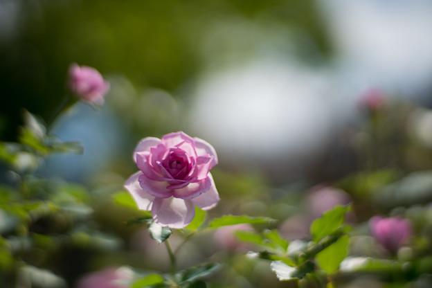 花菜ガーデン【秋バラ:コティリオン】3