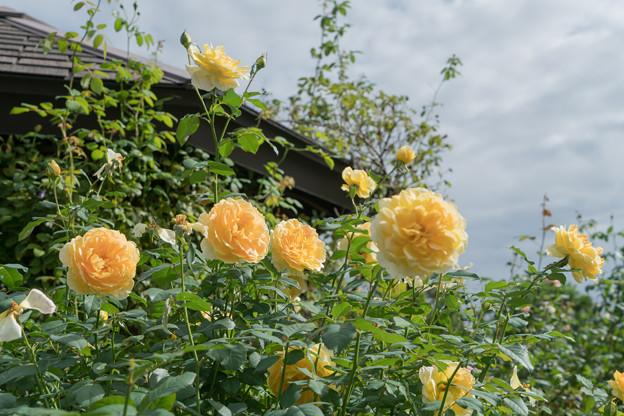 花菜ガーデン【秋バラ:モリニュー】1