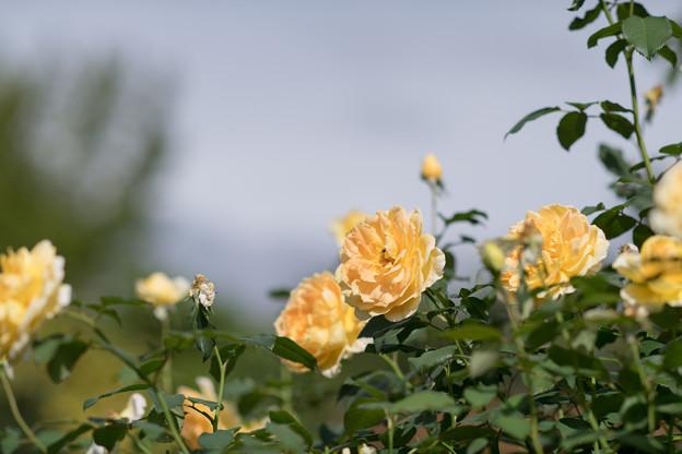 花菜ガーデン【秋バラ:モリニュー】2