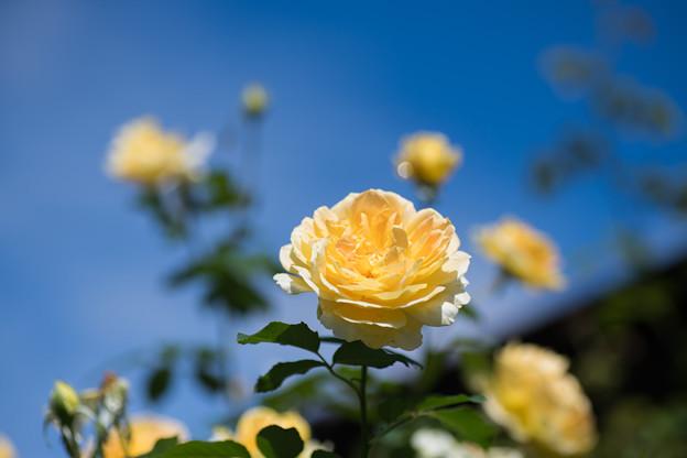 花菜ガーデン【秋バラ:モリニュー】3