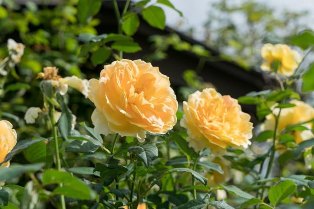 花菜ガーデン【秋バラ:モリニュー】4
