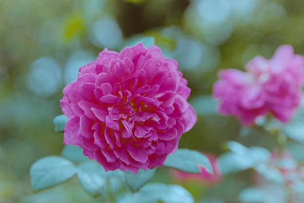 花菜ガーデン【秋バラ:ソフィーズ・ローズ】4銀塩