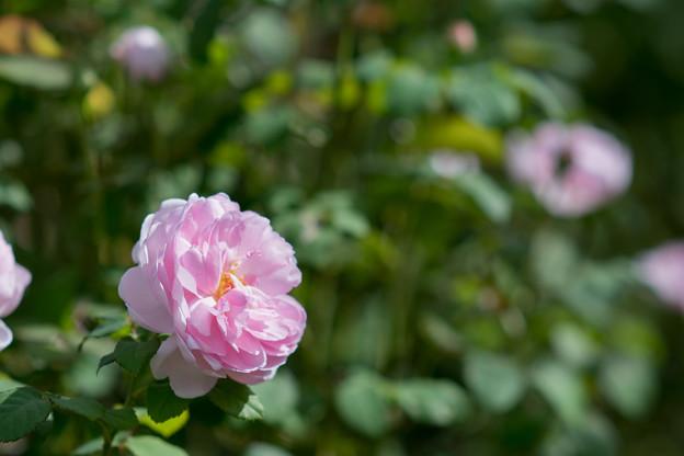 花菜ガーデン【秋バラ:ワイフ・オブ・バス】2