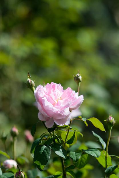 花菜ガーデン【秋バラ:ワイフ・オブ・バス】3