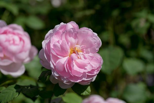 花菜ガーデン【秋バラ:ワイフ・オブ・バス】4