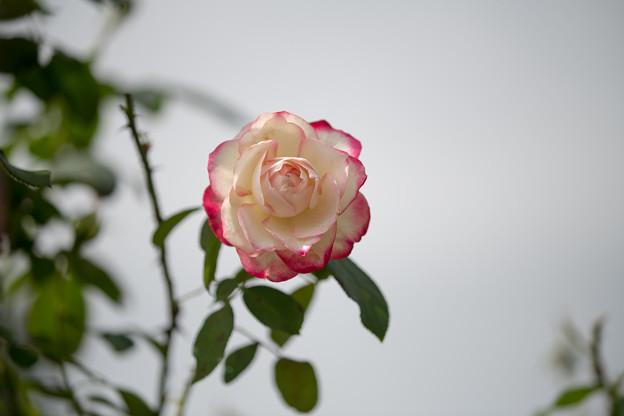 花菜ガーデン【秋バラ:ジュビレ・デュ・プリンス・ドゥ・モナコ】5