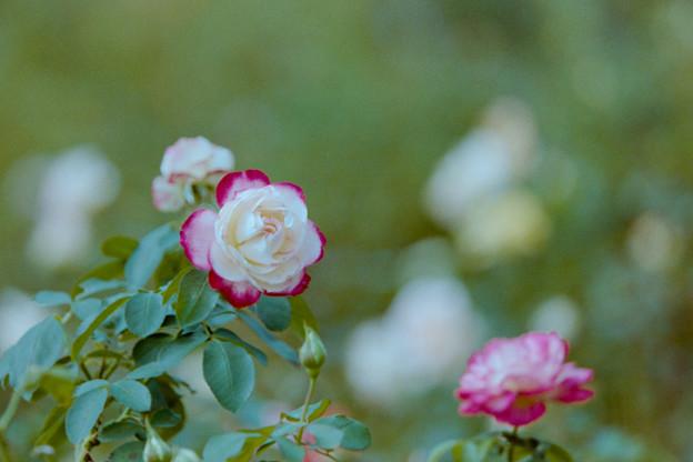 花菜ガーデン【秋バラ:ジュビレ・デュ・プリンス・ドゥ・モナコ】3銀塩