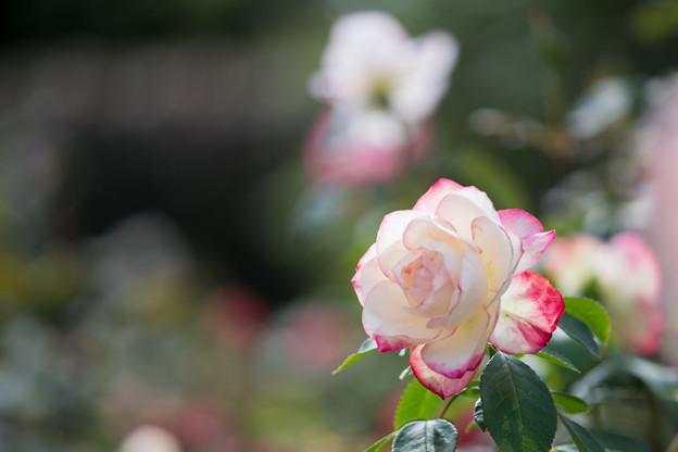 花菜ガーデン【秋バラ:ジュビレ・デュ・プリンス・ドゥ・モナコ】4